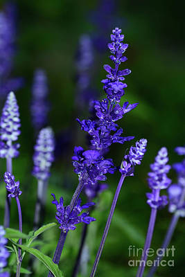 Photograph - Rich Blue Lavender 2 By Kaye Menner by Kaye Menner
