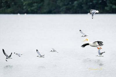 Photograph - Franklin Gull Dinner Fight by Edward Peterson