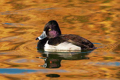 Photograph - Ring-necked Duck by Rick Furmanek