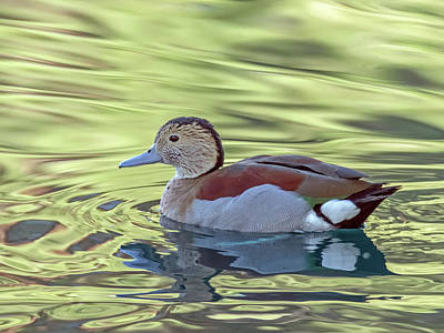 Photograph - Ringed-teal Duck 0410-111618-1cr by Tam Ryan