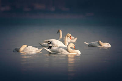 Photograph - River Swans by Thomas Gaitley