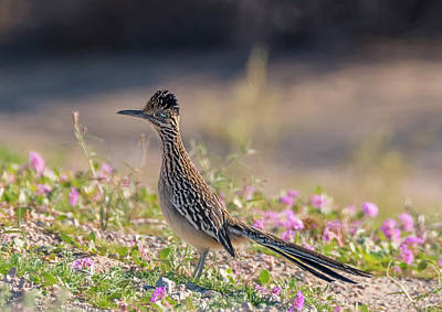 Photograph - Roadrunner In The Wildflowers by Loree Johnson