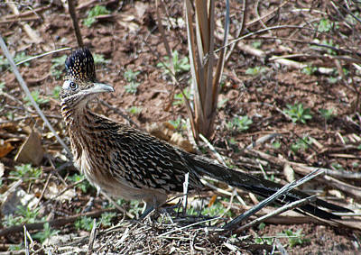 Photograph - Roadrunner Portrait by Cascade Colors