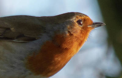Photograph - Robin Close Up by Scott Lyons