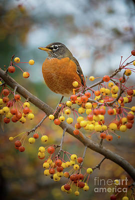 Photograph - Robin by Inge Johnsson