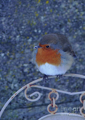 Photograph - Robin Redbreast by Phil Banks