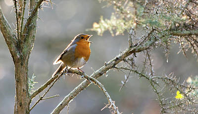 Photograph - Robin Singing In A Tree by Scott Lyons