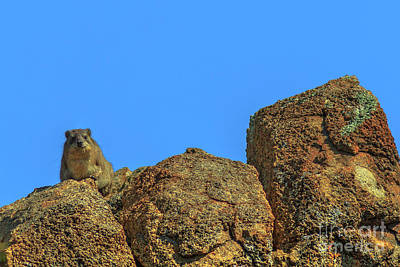 Photograph - Rock Hyraxs South Africa by Benny Marty