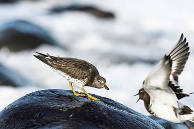 Photograph - Rock Piper Spat by Robert Potts