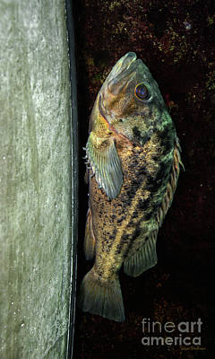 Photograph - Rockfish Relaxing by Susan Wiedmann