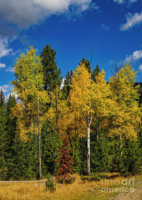Photograph - Rocky Mountain National Park Yellow Aspen by Jon Burch Photography