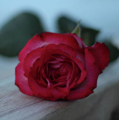 American Milestones - Romantic Rose 8 by Cathy Lindsey