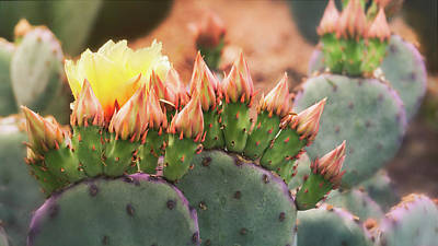 Photograph - Rooney's Prickly Pear by Saija Lehtonen