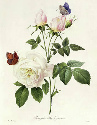 Painting - Rosa Bengale The Hymenes By Redoute by Pierre Joseph Redoute