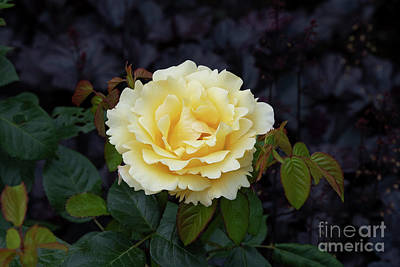 Photograph - Rosa Glorious Interictira Flower by Tim Gainey