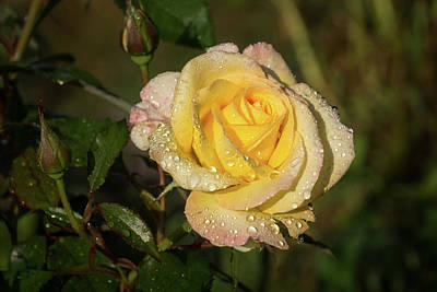 Photograph - Rose And Rain - A Gleaming Fragrant Blend Of Yellow And Pink by Georgia Mizuleva