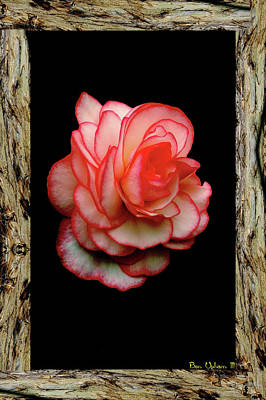 Photograph - Rose by Ben Upham III