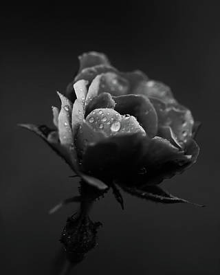 Photograph - Rose Bw by Alex Hochstrasser