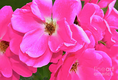Royalty-Free and Rights-Managed Images - Rose Cluster in Deep Pink by Regina Geoghan