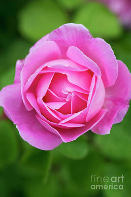 Photograph - Rose Gertrude Jekyll Flower  by Tim Gainey