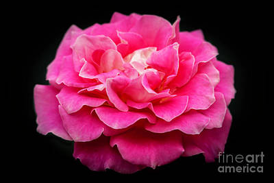 Photograph - Rose In Pink by Sabrina L Ryan