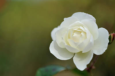 Photograph - Rose by Keiichihiki