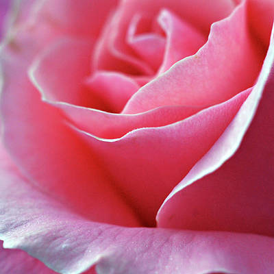 Photograph - Rose Of Glory by Michelle Wermuth