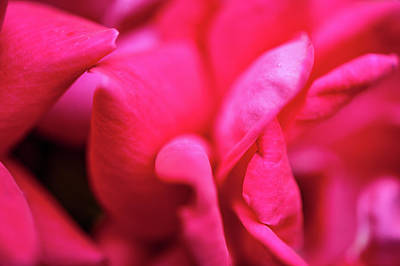 Photograph - Rose Petals by Mark Duehmig