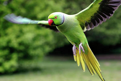 Photograph - Rose Ringed Parakeet by Nicholas Blackwell