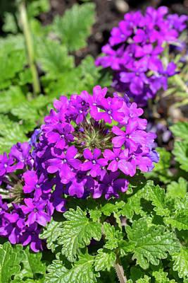 Photograph - Rose Verbena Homestead Purple by Dawn Cavalieri