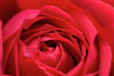 Photograph - Rose by Wendy Leung