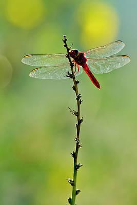 Photograph - Roseate Skimmer Orthemis Ferruginea by Danita Delimont