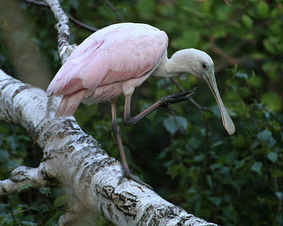 Photograph - Roseate Spoonbill 20 by William Selander
