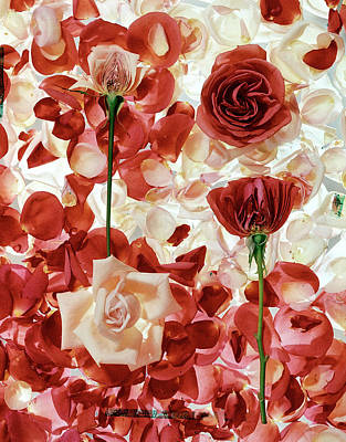 Photograph - Roses.  Photo By George Silktime Life by George Silk
