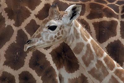 Photograph - Rothschild Giraffe Giraffa by Zssd/ Minden Pictures