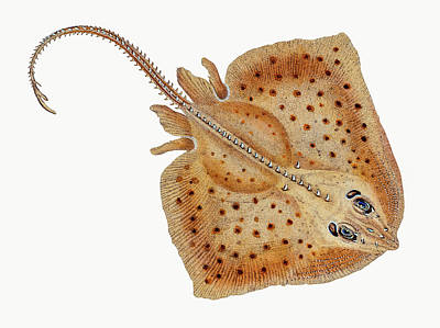 Animals Drawings - Rough Ray by David Letts
