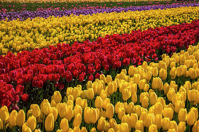 Photograph - Row After Row After Row Of Tulips by Garry Gay