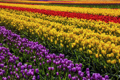 Photograph - Rows And Rows Of Tulips by Garry Gay