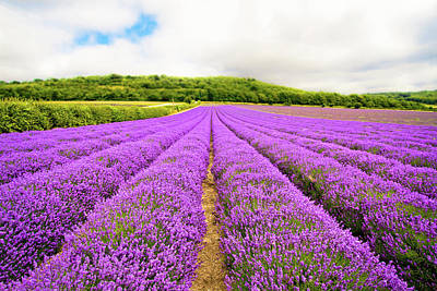 Photograph - Rows Of Lavender by Michaela Gunter