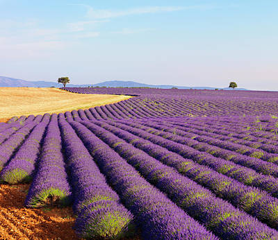 Photograph - Rows Of Lavender On Plateau by Shaun Egan