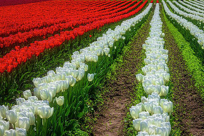 Photograph - Rows Of White And Red Tulips by Garry Gay