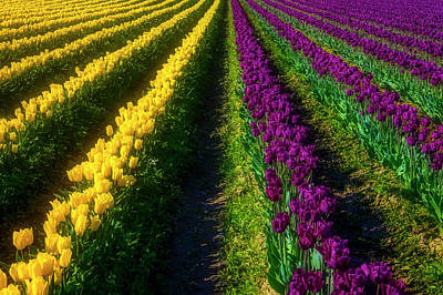 Photograph - Rows Of Yelow And Purple Tulips by Garry Gay