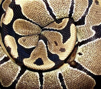 Photograph - Royal Ball Python by Photo By Frank Lundburg