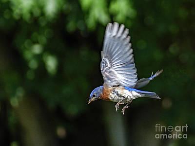 Abstract Water - Eastern Bluebird In Flight by Cindy Treger
