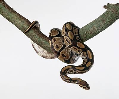 Photograph - Royal Python Python Regius, Curled Up by Dorling Kindersley