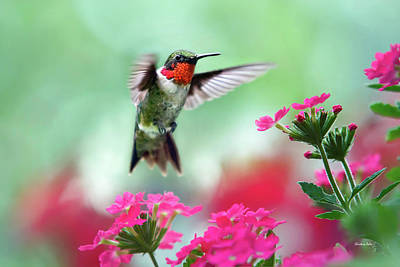 Birds Rights Managed Images - Ruby Garden Jewel Royalty-Free Image by Christina Rollo