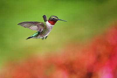 Flying Photograph - Ruby Throated Hummingbird by Cglade