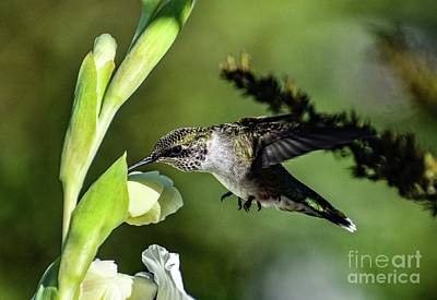 Marvelous Marble - Ruby-throated Hummingbird Feeding On A Gladiolus by Cindy Treger