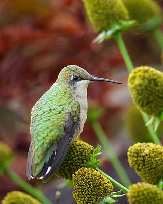 Winter Animals Rights Managed Images - Ruby Throated Hummingbird Royalty-Free Image by Heidi Hermes