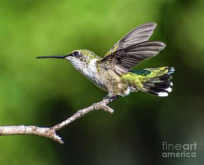 Tina Turner - Ruby-throated Hummingbird Highlighted By The Sun by Cindy Treger